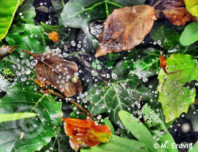 leaves-cobweb-dew-afc-1-web-c.jpg