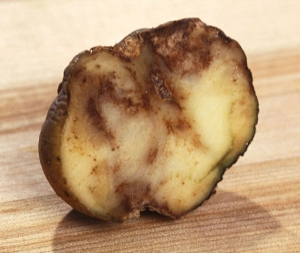 potato blight commons