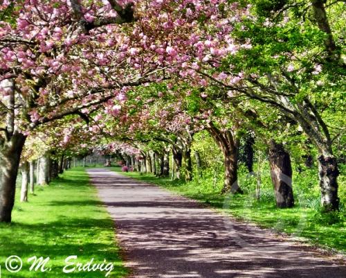 cherry tree walk afcR WEB